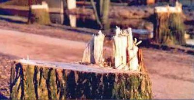 Abgeholzte Bäume - Baumstumpf