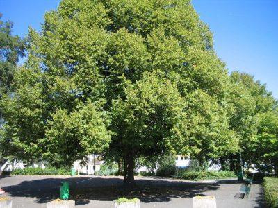schattenspendender Baum