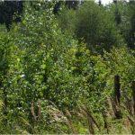 Frisch aufgeforsteter Bannwald