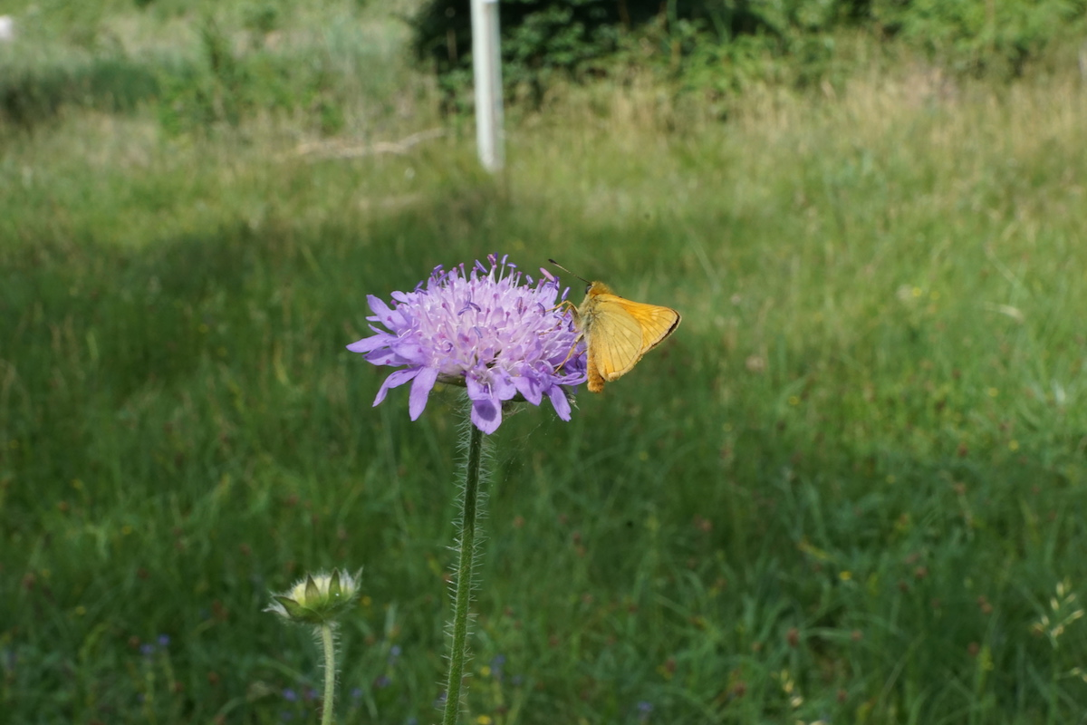 Wiesenblume mit Schmetterling